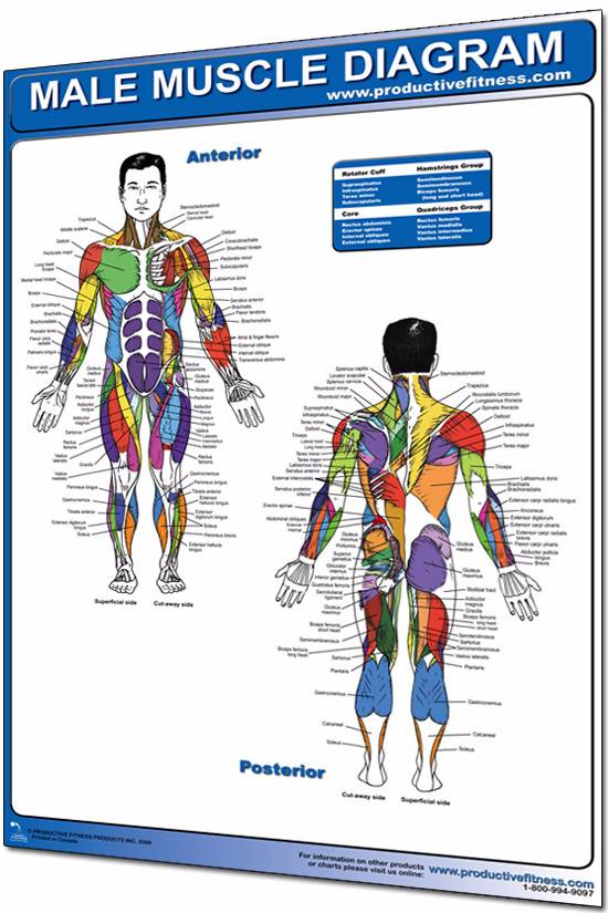 Male body anatomy diagram